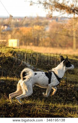 Dog On The Run, Photo In Motion, Basenji On The Hill During Sunset