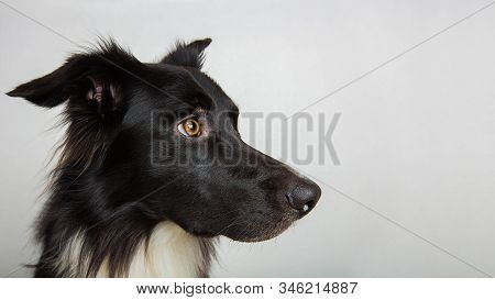 Close up profile portrait of adorable purebred Border Collie looking away curious isolated on gray background with copy space. Serious black and white dog attentive glance. stock photo