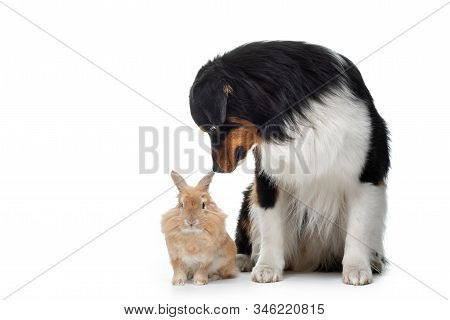 dog with a rabbit on a white background. two animals together. Pet friendship. australian shepherd stock photo