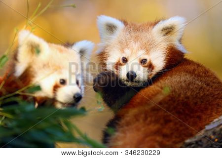 The red panda (Ailurus fulgens), firefox or lesser panda, the red bear-cat, and the red cat-bear, portrait in the afternoon light.Pair of red pandas in the afternoon light. stock photo