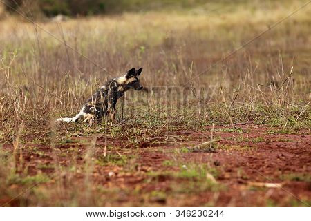 The African wild dog (Lycaon pictus), also known as African hunting or  African painted dog, painted hunting dog or painted wolf.Puppy of an african dog in the open landscape. stock photo
