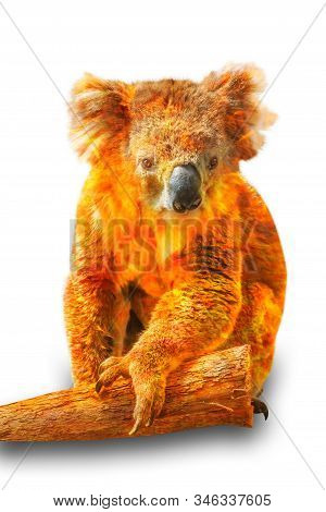 Composition about Koala wildlife in the Australian bushfires in 2020. Koala with fire isolated on white background. Typical wild animal living in eucalyptus forests mainly in Victoria of Australia. stock photo