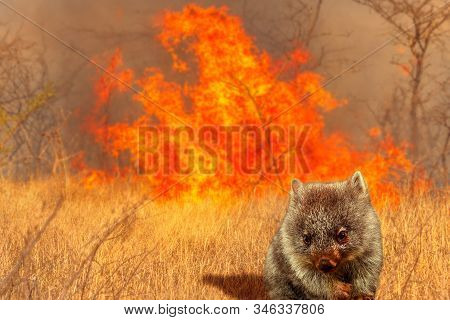 Composition about Australian wildlife in bushfires of Australia in 2020. Wombat with fire on background. January 2020 fire affecting Australia is considered the most devastating and deadly ever seen stock photo