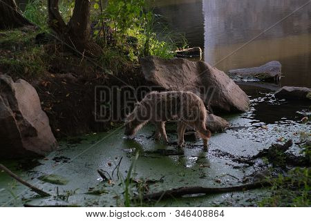 Homeless stray dog abandoned on dirty street. Little poor dog wet dripping in rain and mud. Lonely homeless dog drinks water from the swamp. Destitute sad little dog lost. Adopt animals concept stock photo