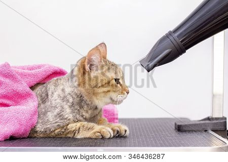 Cat Gets Hair Cut At Pet Spa Grooming Salon. Closeup Of Cat. The Cat Is Dried With A Hair Dryer. Gro