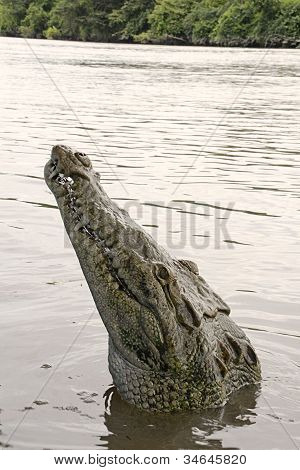 Puerto Viejo de Talamanca, Costa Rica - June 11, 2012: Hungry crocodile attempts to climb on board the small boat in Costa Rica.