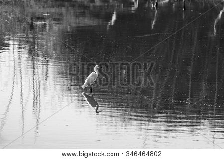 A Great White Egret standing on the edge of a section of lake water with the reflection of trees on the distant shoreline and its own reflection mirrored in the surface of the calm water below it in black and white. stock photo