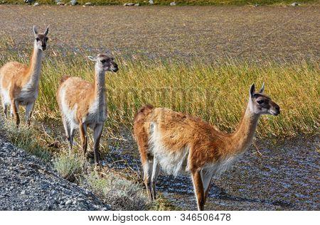 Wild Guanaco (Lama Guanicoe) in Patagonia prairie, Chile, South America stock photo