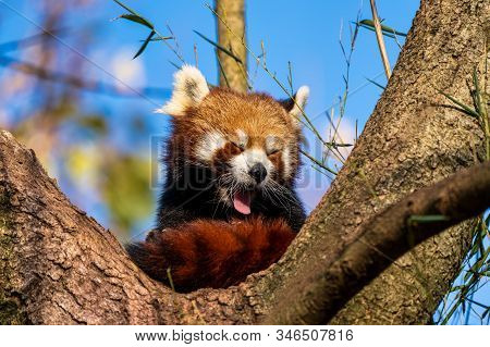 The red panda, Ailurus fulgens, also called the lesser panda and the red cat-bear. stock photo