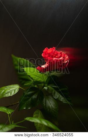 red hibiscus flower on dark background stock photo