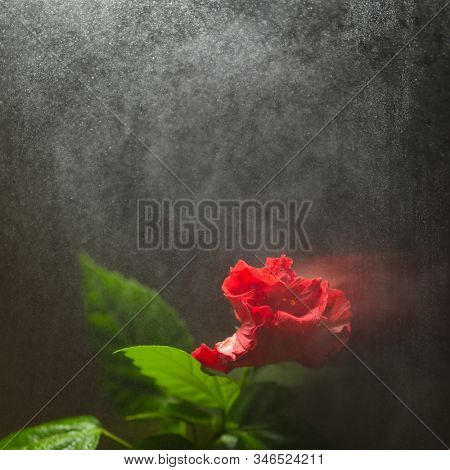 red hibiscus flower on dark background with water spray stock photo