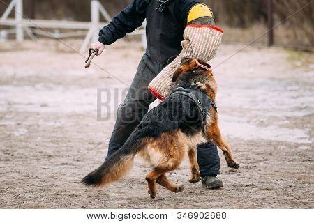 German shepherd dog training. Biting dog. Alsatian Wolf Dog. Deutscher, dog stock photo