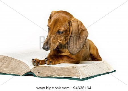 Dog Read Book, Animal School Education Training, Smart Dachshund Reading Isolated Over White Backgro