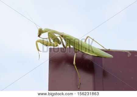 Praying mantis on a red fence. Predator insect mantis stock photo