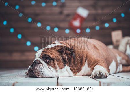 English bulldog with gifts uner xmas tree