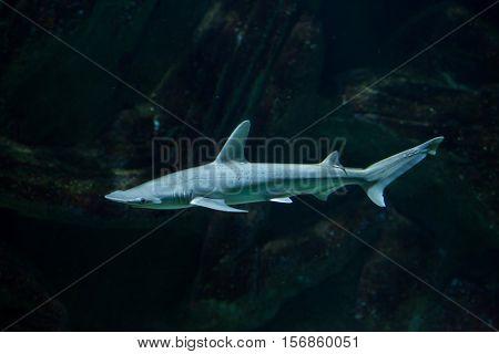 Bonnethead shark (Sphyrna tiburo), also known as the shovelhead shark.  stock photo