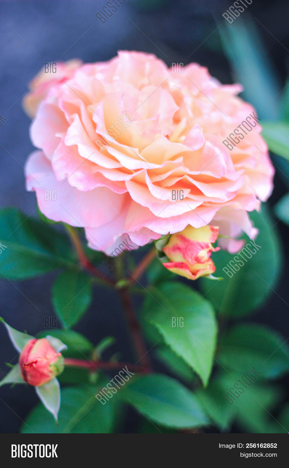beautiful pink rose flower blooming in the garden on a green bright izmirmasajfo