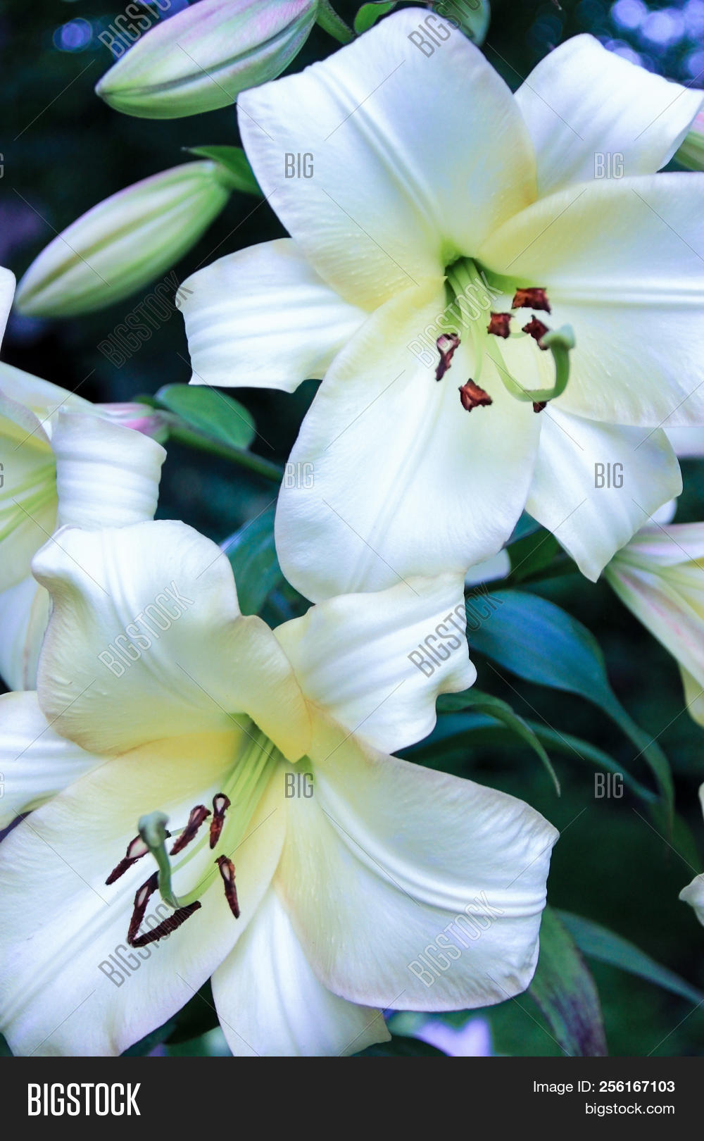 A Beautiful Inflorescence Of Large White Lilies On A Green