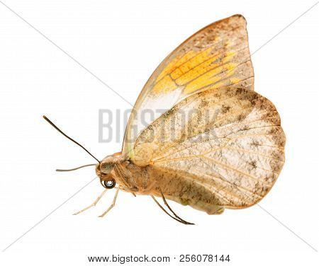 The great orange tip butterfly, Hebomoia glaucippe, is isolated on white background with wings closed. The underside of the butterfly resembles a dead leaf, but orange tips are seen on grey stock photo