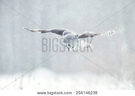 Close up of Great grey owl (Lapland owl) in flight in winter, Finland. stock photo