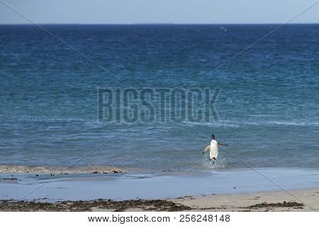 Gentoo Penguin (Pygoscelis papua) emerging from the sea onto a large sandy beach on Bleaker Island in the Falkland Islands. stock photo