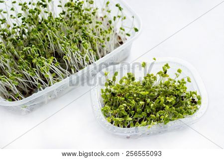 Home grown microgreens - broccoli sprouts isolated on white backgound. Sprouts are source of myrosinase enzyme and sulforaphane as anticancer treatment. stock photo