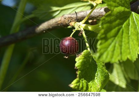 Ribes nigrum, blackcurrant, hanging from a cassis bush stock photo