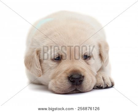 Sad and tired labrador puppy dog resting its head on paws looking with romantic eyes - isolated stock photo