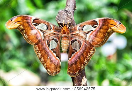 Beautiful and big Attacus Atlas butterfly on green background stock photo