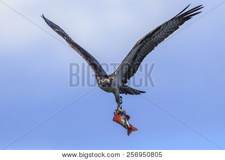 Osprey in sky with kokanee salmon. An osprey flies up in the sky with his catch above Hayden Lake in north Idaho. stock photo
