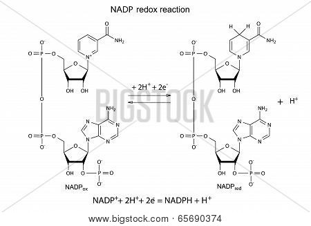 Illustration of NADP redox reaction with chemical formulas, vector, isolated on white stock photo