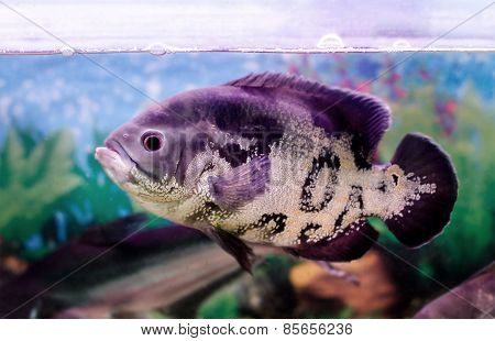 image of a beautiful aquarium fish Astronotus stock photo