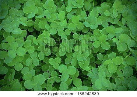 Green clover leaves in meadow defocused background. St. Patricks day greeting card. Summer shamrock Irish festival symbol. stock photo