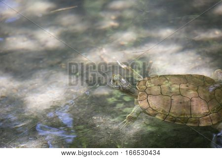 River cooter turtle (Pseudemys concinna) in a pond stock photo