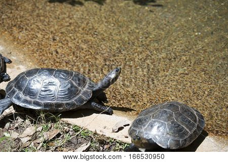 Yellow-spotted Amazon turtles (Podocnemis unifilis) climbing out of a pond stock photo
