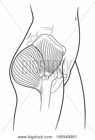 The internal structure of the human pelvic belt gluteus maximus gluteus medius muscle side view. On a white background stock photo
