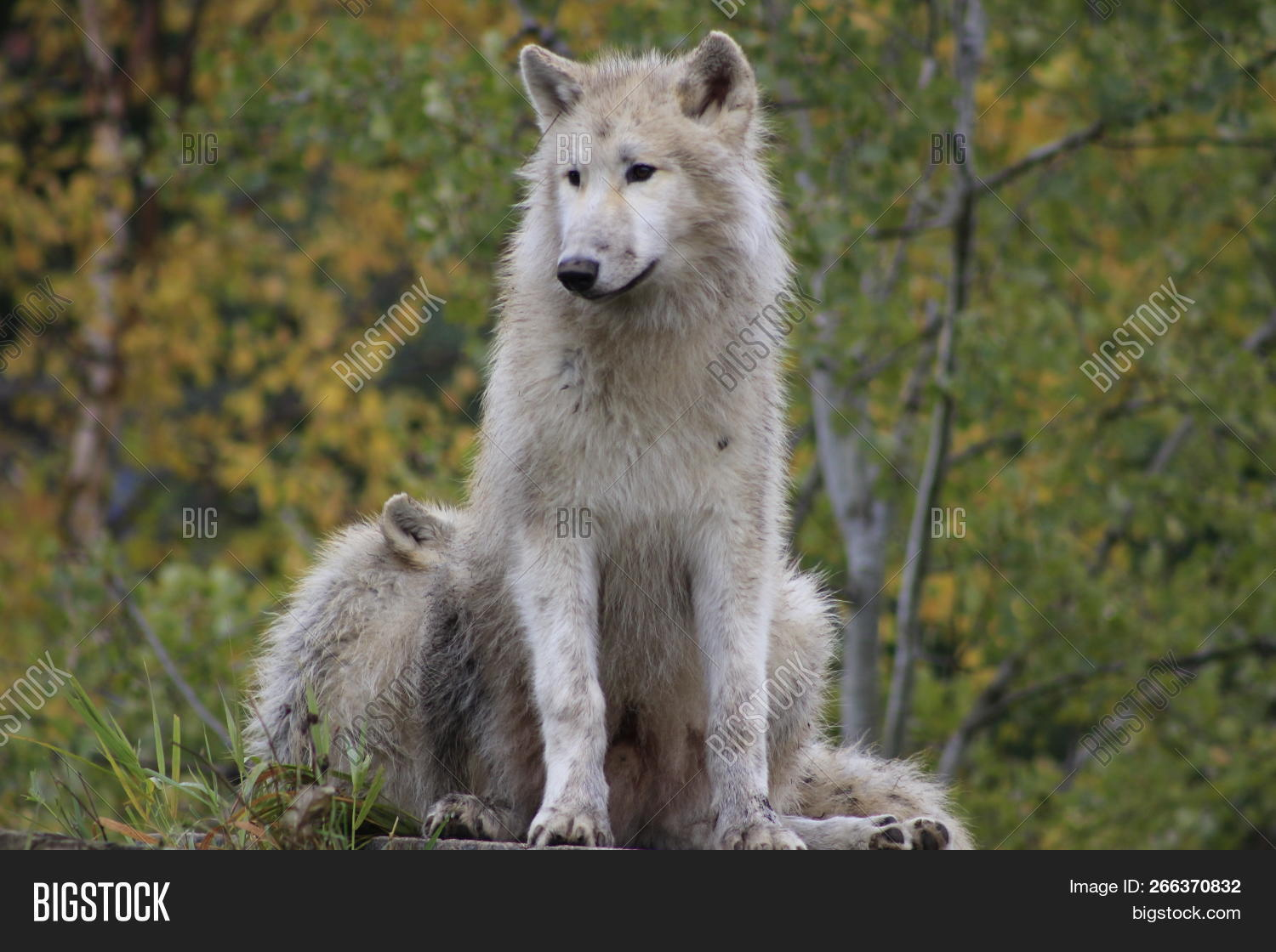 adult,alpha,animal,archipelago,arctic,beautiful,canada,canine,carnassials,carnivore,cold,controlled,danger,distinct,dog,endangered,environment,eye,face,fall,fierce,forest,fur,furry,gray,head,hunt,hybridization,isolated,male,mammal,natural,nature,polar,predator,savage,seasons,skull,snow,soft,special,stare,subspecies,white,wild,wildlife,wolf,wolves,woods