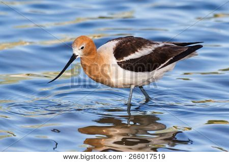 The American avocet is a large wader in the avocet and stilt family, the avocet spends much of its time foraging in shallow water or on mud flats, often sweeping its bill from side to side in water as it seeks its crustacean and insect prey stock photo