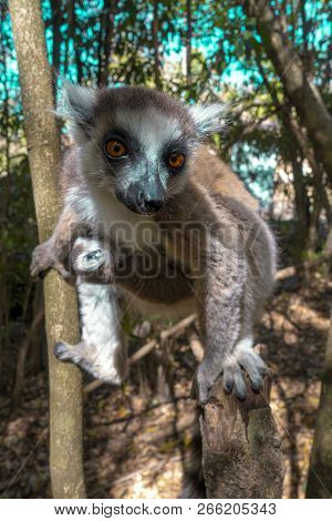 Ring Tailed Lemur  kata ,Close up Ring-tailed lemur baby and mother, mother breastfeeding her baby. Wild nature Magdagascar stock photo
