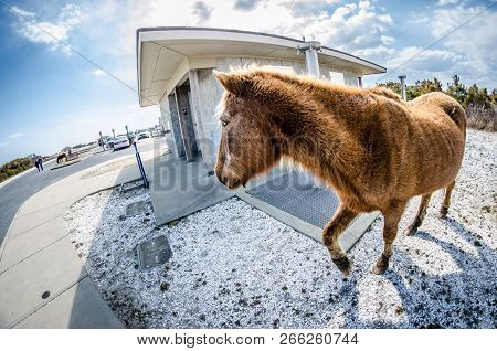 Wild Feral Horse Trots Around The Public Restroom In The Parking Lot Of Assateague Island National S