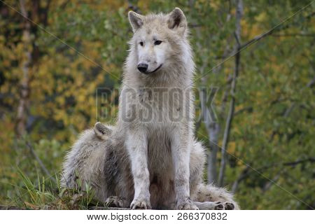 White Arctic wolf Canis lupus arctosportrait has beautiful golden eyes. Photographed in Canada. stock photo