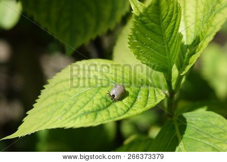Wood tick, dog tick, pulled from human host. A piece of human host skin attached to insects jaws. Disease carrying pest. Castor bean tick (Ixodes ricinus) stock photo