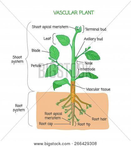 Vascular Plant Biological Structure Diagram With Labels, Vector Illustration Drawing Poster, Educati
