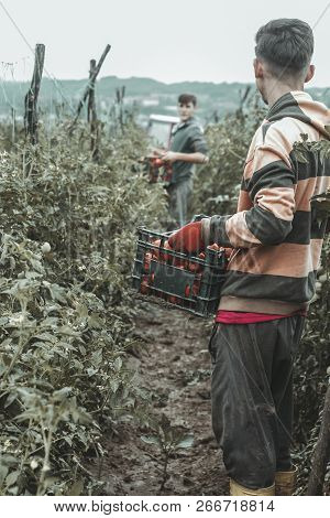 back of harvesting helper who taking the crates full of tomatoes at green field stock photo