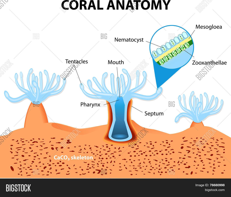 Coral Anatomy Vector Diagram Photo Stock