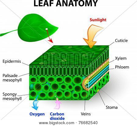 leaf anatomy vector diagram. photosynthesis. Chlorophyll is the molecule in leaves that uses the energy in sunlight to turn water and carbon dioxide gas  into sugar and oxygen stock photo