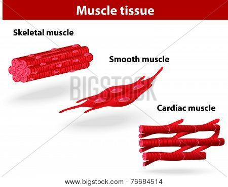 Types of muscle tissue. Skeletal muscle, smooth muscle, cardiac muscle. Vector scheme stock photo