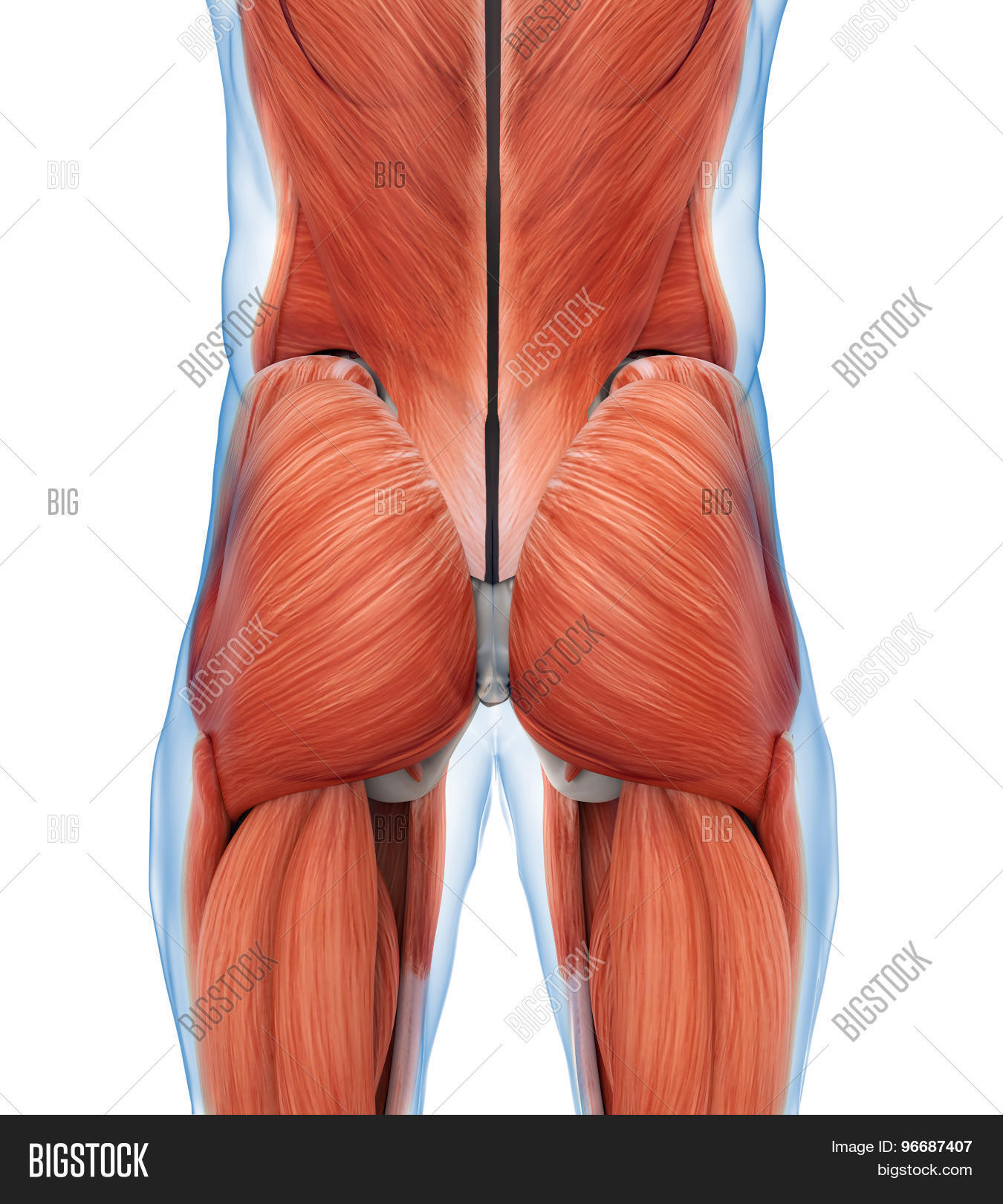 Buttock Muscles Anatomy Illustration . 3D render
