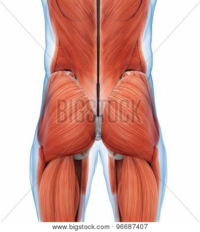 Buttock Muscles Anatomy Illustration . 3D render stock photo