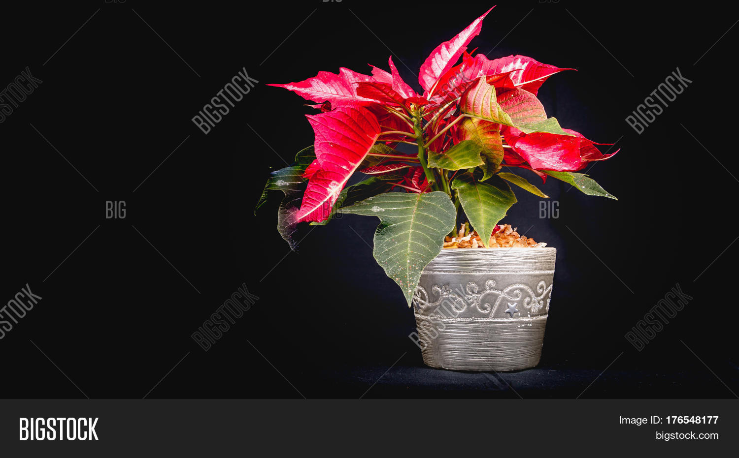 Euphorbia,Eve,background,bethlehem,black,bloom,bright,card,celebration,christmas,closeup,colorful,december,decoration,festive,flora,floral,flower,foliage,garden,gift,green,grey,holiday,leaves,merry,metal,metalic,nature,petals,plant,poinsettia,postcard,pot,pulcherrima,red,religious,season,seasonal,star,symbol,toxicity,tradition,traditional,tree,vintage,white,winter,xmas